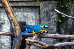 Two playing parrots in love. Having fun with selective focus Royalty Free Stock Photo