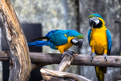 Two playing parrots in love. Having fun with selective focus Royalty Free Stock Photography