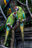 Two playing parrots in love. Two playing parrots with selective focus Stock Photography