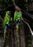 Two playing parrots in love. Two playing parrots with selective focus Royalty Free Stock Image