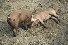 Two playing piglets. / domestic animal / livestock / pigsty royalty free stock photos