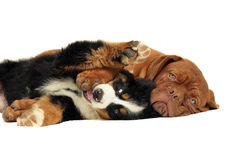 Two playing puppies. Royalty Free Stock Photography