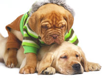 Two playing puppies. Royalty Free Stock Photos