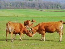 Two playing red brown cows in Switserland Stock Photography
