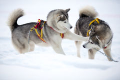 Two Playing Siberian Husky Dogs Stock Photo