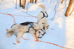Two playing siberian husky dogs black and white color. Winter view. Royalty Free Stock Images
