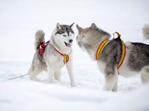 Two playing siberian husky dogs Stock Images