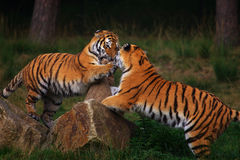 Two playing Siberian Tigers Stock Images