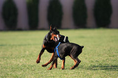 Two plays the doberman dog Royalty Free Stock Image