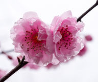 Two plum tree blossoms with rain drops Stock Images