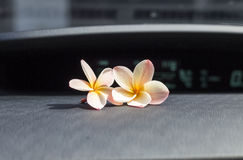 Two plumeria flowers on the car console stock photos