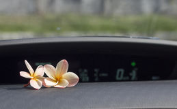 Two plumeria flowers on the car console. Stock Image