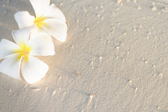 Two plumeria flowers on sunset sand beach. With copy space, Maldives Royalty Free Stock Image
