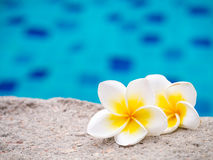Two plumeria flowers beside swimming pool Royalty Free Stock Photos