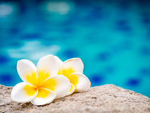 Two plumeria flowers beside swimming pool Stock Images
