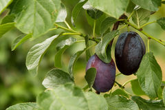 Two plums Royalty Free Stock Image