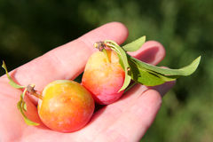 Two plums on a palm. Harvesting Royalty Free Stock Photography