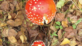 Two poisonous red mushroom amanita. Growing among dry leaves in the forest stock footage