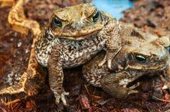 Two poisonous toads (aga) Royalty Free Stock Photo