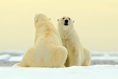 Two Polar bear couple cuddling on drift ice in Arctic Svalbard. Bear with snow and white ice on the sea. Cold winter scene with da Stock Images