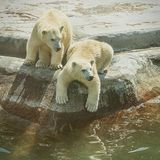 Two polar bear cubs. Royalty Free Stock Images