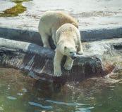 Two polar bear cubs. Stock Photo