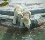 Two polar bear cubs. Royalty Free Stock Image