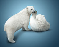 Two polar bear royalty free stock photos
