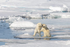 Two polar bear cubs playing together on the ice stock photo