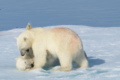 Two polar bear cubs playing together on the ice Stock Image