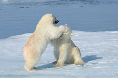 Two polar bear cubs playing together on the ice royalty free stock images