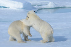 Two polar bear cubs playing together on the ice Royalty Free Stock Photos