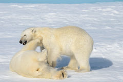 Two polar bear cubs playing together on the ice Royalty Free Stock Image