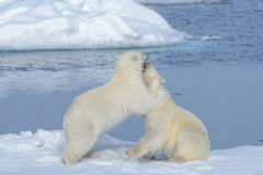 Two polar bear cubs playing together on the ice stock photography