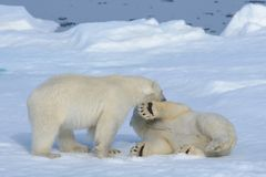 Two polar bear cubs playing together on the ice. North of Svalbard stock photography