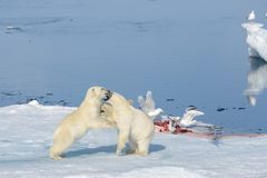 Two polar bear cubs playing together on the ice. North of Svalbard stock photo