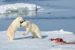 Two polar bear cubs playing together on the ice. North of Svalbard royalty free stock images