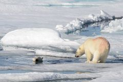 Two polar bear cubs playing together on the ice stock photos