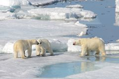 Two polar bear cubs playing together on the ice. North of Svalbard royalty free stock image