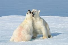 Two polar bear cubs playing together on the ice. North of Svalbard stock image