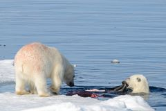 Two polar bear cubs playing together on the ice. North of Svalbard royalty free stock photos