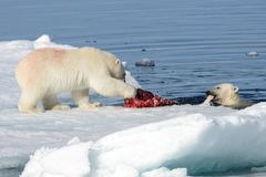 Two polar bear cubs playing together on the ice. North of Svalbard royalty free stock photography