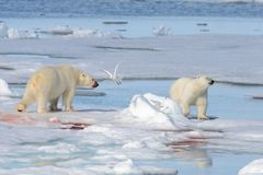 Two polar bear cubs playing together on the ice. North of Svalbard stock images