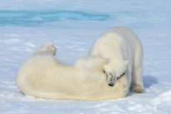 Free Two Polar Bear Cubs Playing Together On The Ice Royalty Free Stock Photography - 113125637