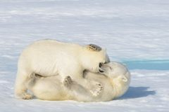 Free Two Polar Bear Cubs Playing Together On The Ice Royalty Free Stock Photography - 113125737