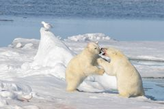 Free Two Polar Bear Cubs Playing Together On The Ice Royalty Free Stock Photography - 113126337
