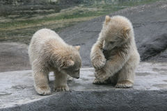 Two polar bear cubs Stock Images