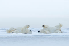Two Polar bear lying relax on drift ice with snow, white animals in the nature habitat, Canada. Manitoba wildlife stock photos