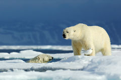 Two polar bear, one in the water, second on the ice. Polar bear couple cuddling on drift ice in Arctic Svalbard. Wildlife action. From nature stock image