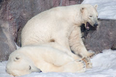 Two polar bear rest on white snow. royalty free stock images